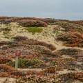 Dune restoration zone at Seaside State Beach.- Seaside State Beach