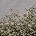 Unidentified species (help us identify it by providing feedback).- Zmudowski State Beach