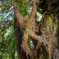 A tenacious tree clings to a rock face on the Historic Loop Trail.- Historic Loop Trail