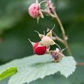 Thimbleberries.- Lake Serene