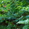 Red huckleberries.- Lake Serene