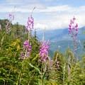 Fireweed flowers.- Lake Serene
