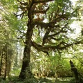 A large maple in the Hoh Rain Forest.- Hoh to Sol Duc via High Divide Trail