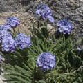 Sky pilot flower.- Mount Whitney Hike via Whitney Portal