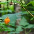 Salmonberries.- Barclay Lake