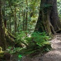 Large moss-covered trees along the Barclay Lake Trail.- Barclay Lake
