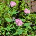 Valerian flowers.- Eagle Lake