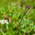 Lustrous copper (Lycaena cupreus) butterflies.- Eagle Lake