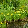 Arrowleaf balsamroot flowers.- Eagle Lake