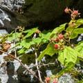 Thimbleberries along the way.- Eagle Lake