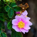 Wild rose.- Salinas River State Beach