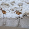 Long-billed curlews looking for a meal.- Salinas River State Beach