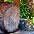 Cut section of a Douglas fir at Shadow of the Sentinels trailhead.- Shadow of the Sentinels