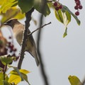 Cedar waxwing (Bombycilla cedrorum).- Willard Springs Loop Trail