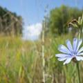 Chicory (Cichorium intybus), Conboy Lake National Wildlife Refuge.- Conboy Lake National Wildlife Refuge