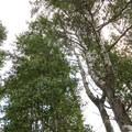 Old-growth quaking aspen (Populus tremuloides) off of Lake Road.- Conboy Lake National Wildlife Refuge