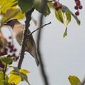 Cedar waxwing (Bombycilla cedrorum).- Conboy Lake National Wildlife Refuge