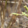 Praying mantis (Mantodea) along the Willard Springs Loop Trail.- Conboy Lake National Wildlife Refuge