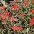 Indian paintbrush (Castilleja miniata).- Sierra Buttes Trail