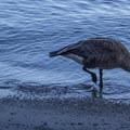 Canada goose (Branta canadensis) in Emerald Bay State Park.- Emerald Bay State Park