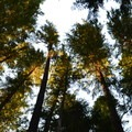 Sunlight filters through the firs at Sacandaga Campground.- Sacandaga Campground