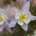 Colorado columbine (Aquilegia coerulea var. coerulea).- Angel Pass
