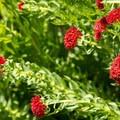 King's crown (Sedum integrifolium).- Angel Pass