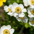 Globeflower (Trollius laxus ssp. albiflorus).- Angel Pass