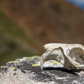 Marmot skull.- Angel Pass