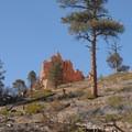 Ponderosa pine (Pinus ponderosa) along the Navajo and Queen's Garden Loop Trail.- Navajo + Queen's Garden Loop Trail