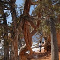 Twisted ponderosa pine (Pinus ponderosa) and western juniper (Juniperus occidentalis).- Navajo + Queen's Garden Loop Trail