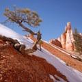 Weathered ponderosa pine (Pinus ponderosa) along the Queen's Garden Loop Trail.- Navajo + Queen's Garden Loop Trail