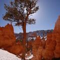 Ponderosa pine (Pinus ponderosa) along the Queen's Garden Loop Trail.- Navajo + Queen's Garden Loop Trail