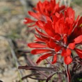 Red paintbrush.- Chinle Trail