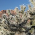Unidentified cactus species (help us identify it by providing feedback).- Chinle Trail