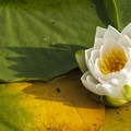 "Fragrant water lily (Nymphaea odorata), or ""beaver root"".- Arboretum Waterfront Trail"