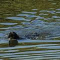 Marymoor Park off-leash dog area along Sammamish River.- Marymoor Park