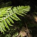 Sword fern (Polystichum munitum).- South Canyon Trail Loop