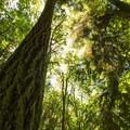 Douglas fir (Pseudotsuga menziesii).- South Canyon Trail Loop