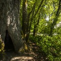 Old-growth black cottonwood (Populus trichocarpa) at at Saint Edward State Park.- South Canyon Trail Loop
