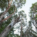 Pacific madrones (Arbutus menziesii) at Lincoln Park.- Lincoln Park