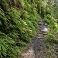 The trail is often lined with lush ferns.- North Umpqua Trail Mountain Biking: Dread and Terror Segment