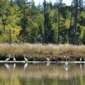 Egrets in Lint Slough. - Lint Slough