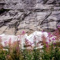 Fireweed in front of the secondary snowfield.- Big Four Ice Caves