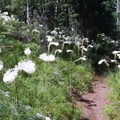 An amazing beargrass display in July on the way to Hand Lake.- Hand Lake