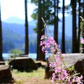 Fireweed at Lake Easton State Park.- Lake Easton State Park