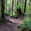 Old growth forest and ferns.- Wallace Falls + Lake via Greg Ball Trail