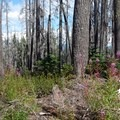 Fireweed reclaims this old burn area.- Scott Mountain