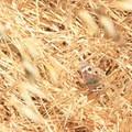 Gray pansey butterfly.- Arroyo Trail