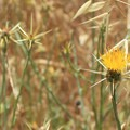 Yellow star thistle.- Arroyo Trail